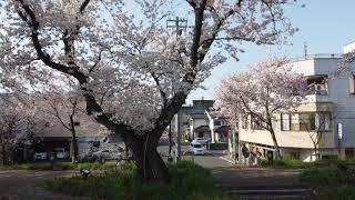 【ナマケモノch】Sakura Saku Fukui 2020