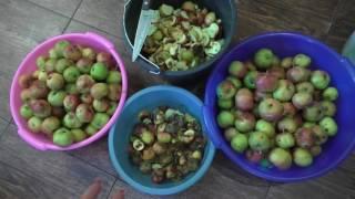 Как правильно переработать яблоки упавшие с дерева( падалица)
