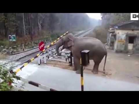 Most Intelligent Animal on act, real footage - Elephant