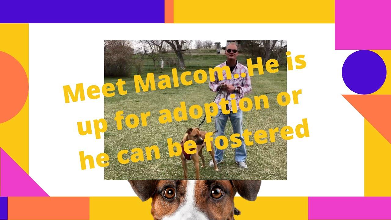 Hobo Care Boxer Rescue Malcom needs adopted or fostered David Novak Real Estate Agent 303-929-9660