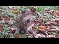 What baby monkey doing? - Real baby monkey life in Angkor - Monkey Camp part 2181