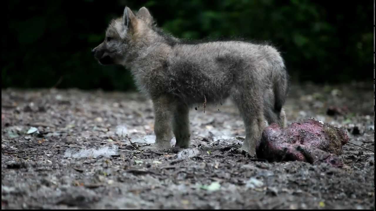 Arctic Wolf Cub - YouTube