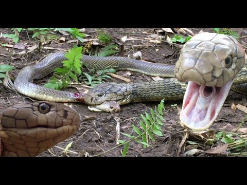 KING Cobra, Attacks & Eats Spitting Cobra - RARE FOOTAGE HD
