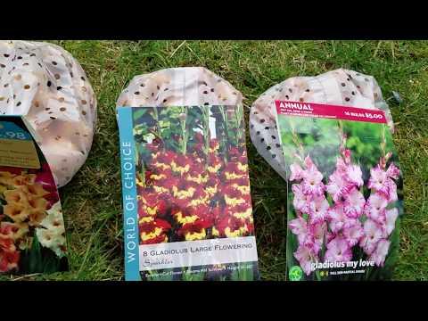 Как правильно посадить гладиолусы и ухаживать за ними