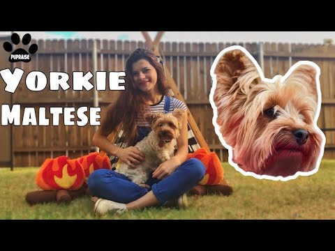 Yorkshire Terrier vs silky terrier difference - Meet Lexi