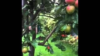 พามาดูต้นแอ๊ปเปิ้ลหลังบ้าน