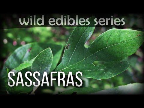 Sassafras  Wild Edibles Series