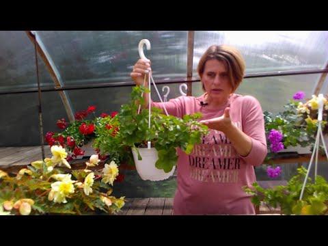 Ампельная пеларгония не цветет