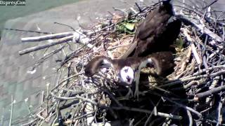 Chesapeake Bay Osprey Cam May 23, 2014