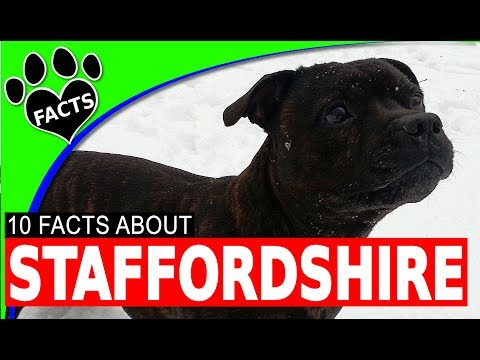 English Staffordshire Bull Terrier Dogs 101 Facts Information #Staffie