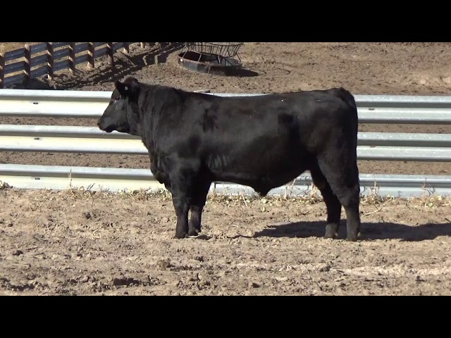 Connealy Angus Lot 88