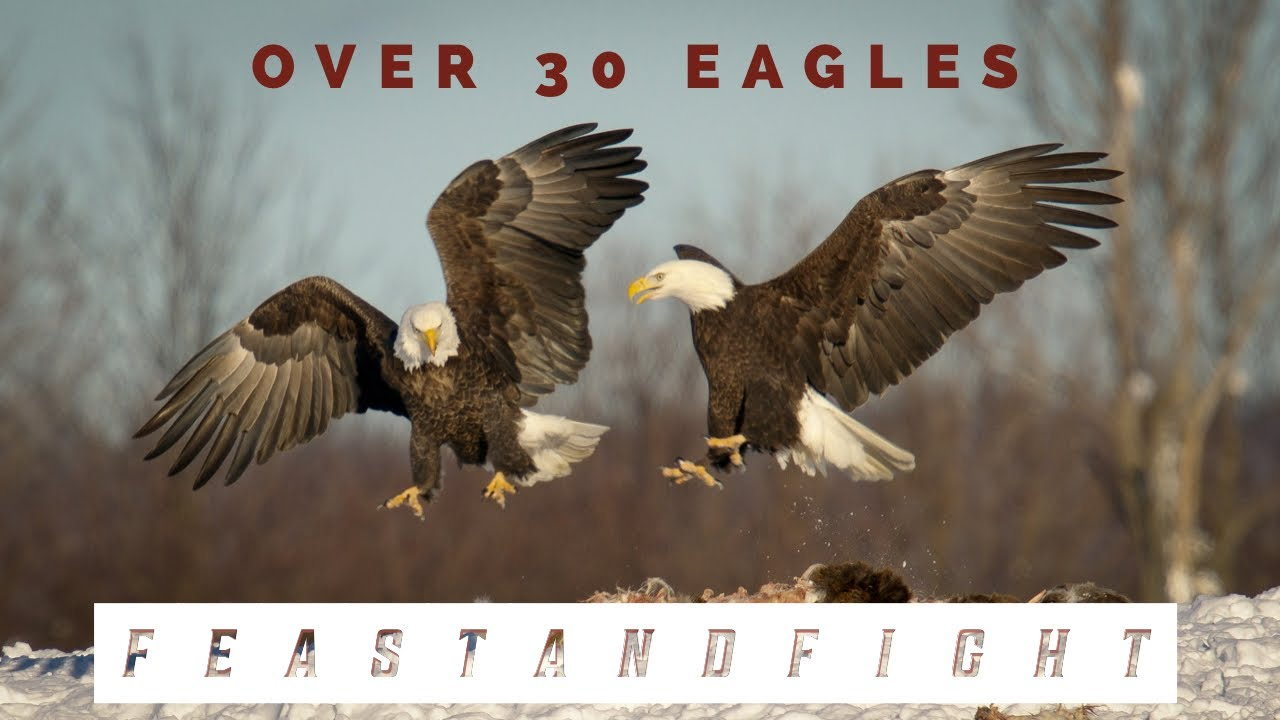 30 Bald Eagles Feast and Fight Over Deer