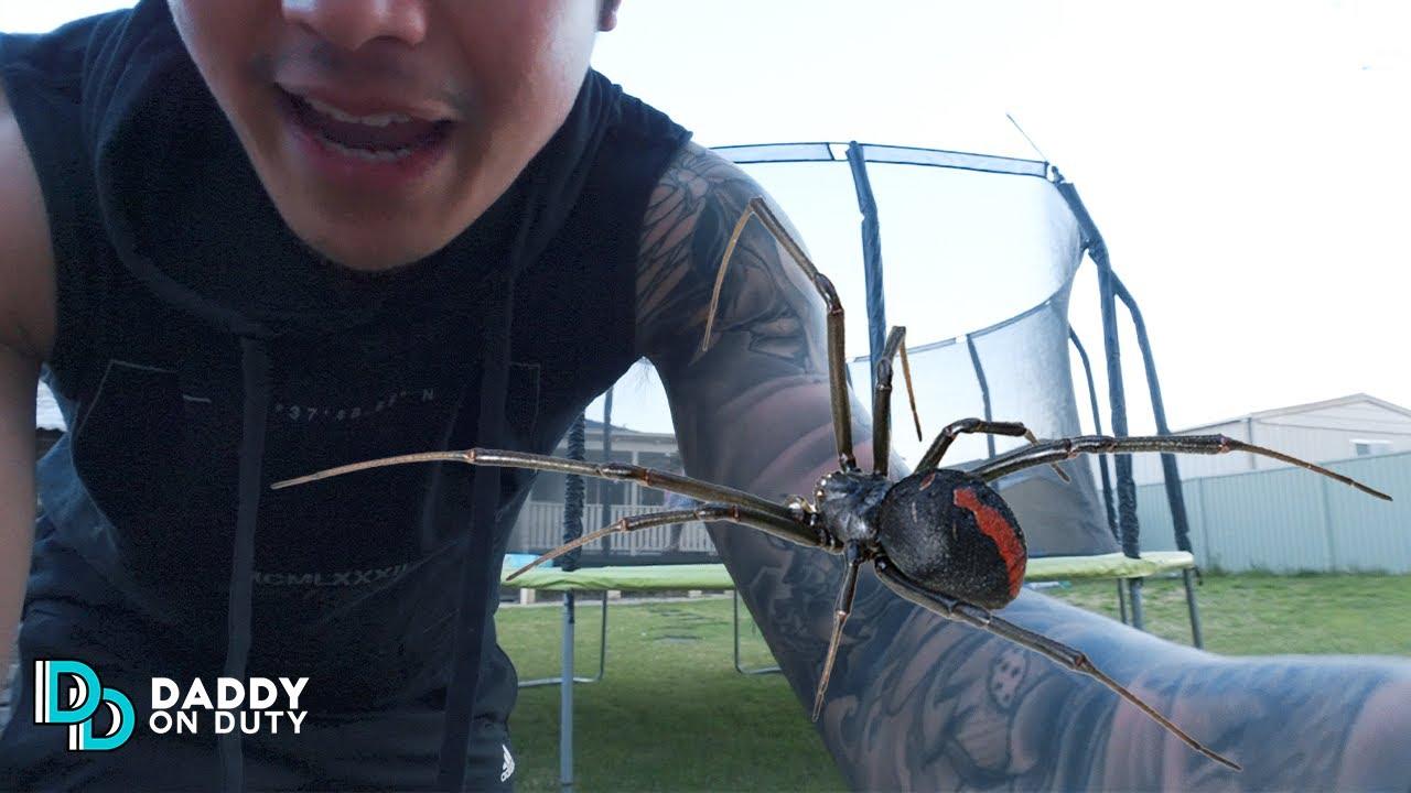 เจอแมงมุม แม่ม่ายดำออสเตรเลีย หลังบ้าน มีพิษร้ายแรงถึงตาย!!! - Daddy on Duty