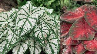 Como Plantar Caladium, Tinhorão e Mantê-lo Sempre Lindo