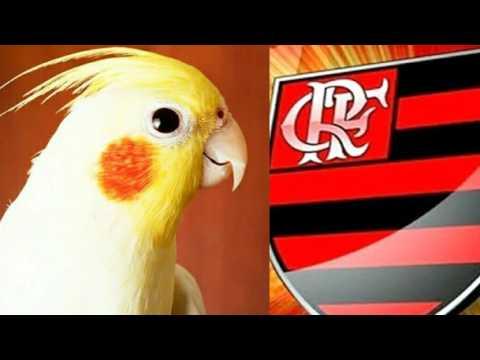 Aprendizado Hino do Flamengo para Calopsitas com intervalos de 5 min