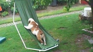 Bulldog Plays On Hammock In The Rain | Funny Bulldog