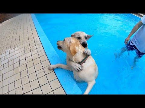 プールに来たからといって仲良く泳ぐわけではなくいつも通りな姉妹  ドッグプール ラブラドールレトリーバー