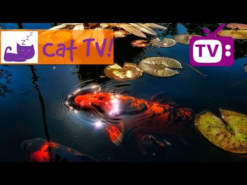 Cat TV - 30 min of Beautiful Fish Swimming in the Pond Combined With Soothing Music TV For Cats Ep6