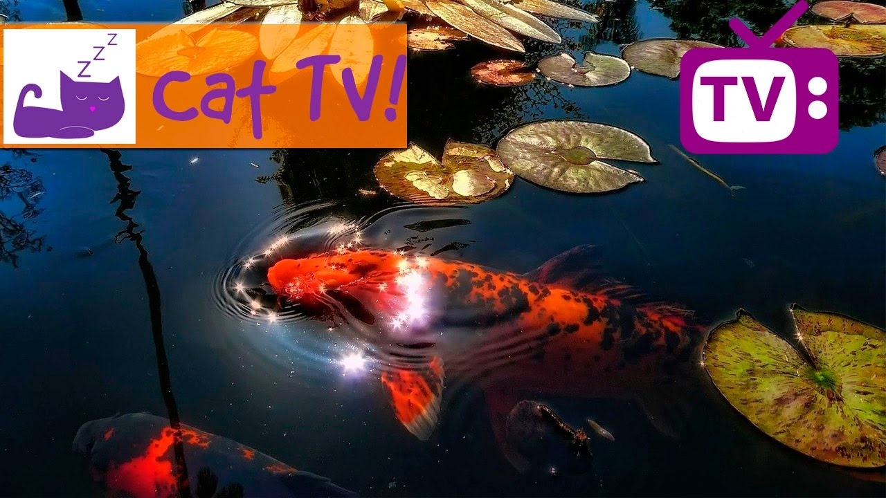 Cat tv 30 min of beautiful fish swimming in the pond for Koi pond maine coon cattery