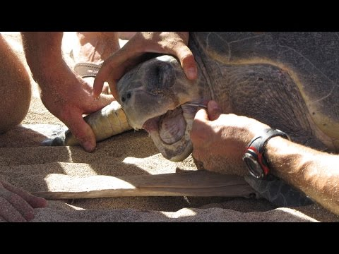 Removing Fish Hook from a Nesting Sea Turtle Mouth