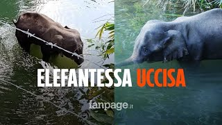 Le Offrono Ananas Riempito Di Petardi, Elefante Ucciso Col Cucciolo In Grembo In India
