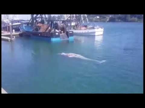 Whales Swimming In Charleston Marina, Coos Bay