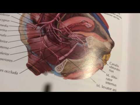 3 20 Внутренняя подвздошная артерия