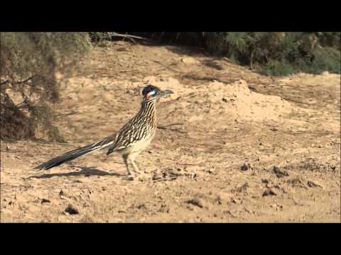 Greater Roadrunner in Southern California