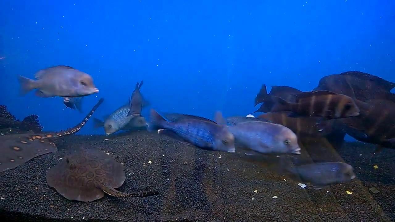 Red tailed catfish aquarium