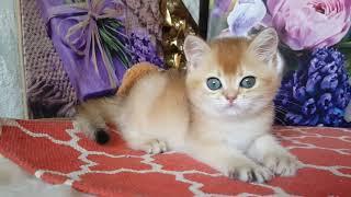Котенок британской породы золотая шиншилла