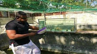 peces disco amazonico en el cridero