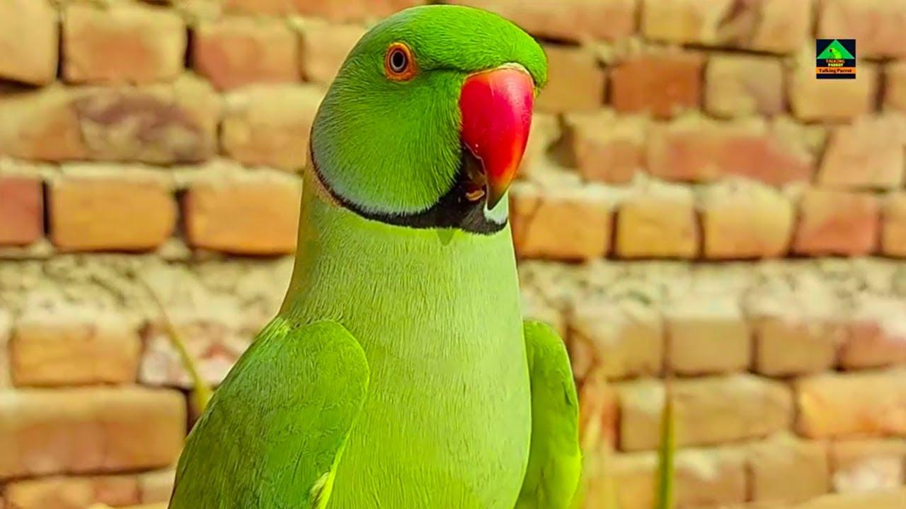 Romeo My Classical Talking Parrot | Romeo Urdu Hindi Main Talking Karnay Wala Payra Sa Parrot Ha