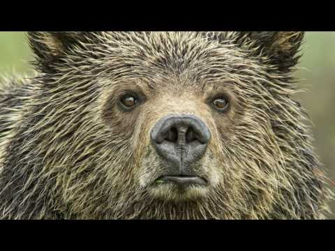 YELLOWSTONE'S GRIZZLY SCIENCE THAT YOU SHOULD KNOW