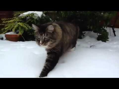 norwegian forest cats in snow