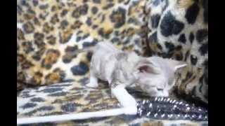 Девон-рекс котята Наоми и Чарли