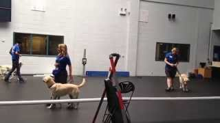 Guide Dogs-in-training Demonstration At The Training Centre In Atherton