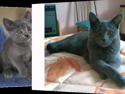 Chartreux Kitten - Cat Pictures