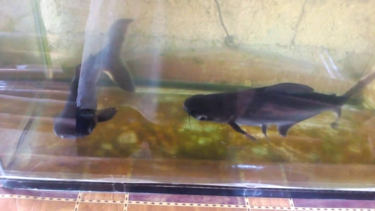 Hammerhead Shark Fish Ornamental