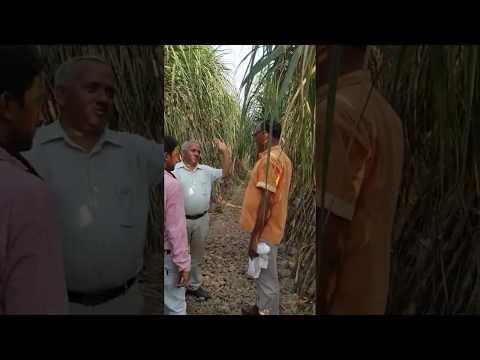 Sugarcane BIJNOR visited by many growers of All over India