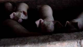 Pig Farm in China