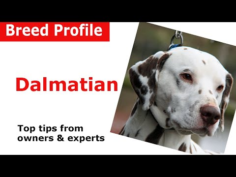 Dalmatian Dog Breed Guide