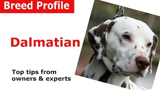 Dalmatian Dog Breed Guide