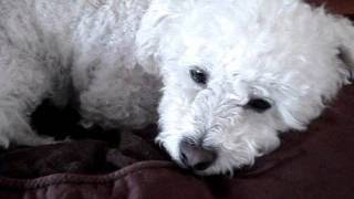 Cute Dog: Miniture Poodle Grooming And Bichon Frise