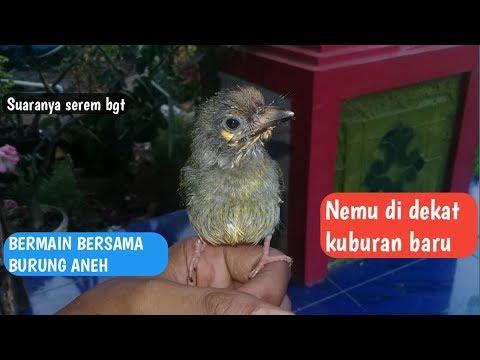 Ternyata SEREM JUGA Burung Yang Suka Bunyi Dekat Kuburan Angker Seperti Ini Bentuknya