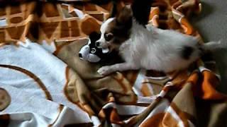 生後2か月と10日の子犬パピヨンです。大好きなぬいぐるみを激しく噛...