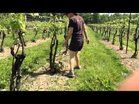 Vineyard management:Suckering