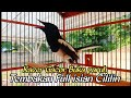 Kacer Gacor Buka Paruh Dan Ekor Suara Full Tembakan Isian Cililin  Mp3 - Mp4 Download