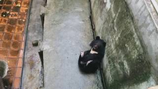 Такого Медведя я вижу впервые. Вьетнам. Миша хочет пошалить!!!(bear sex)