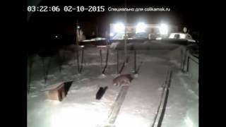 Волк загрыз собаку в Пермском крае