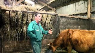 La vache bretonne 4